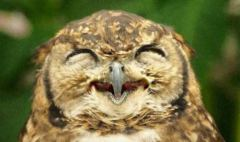 owl_pueo_smiling